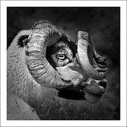 Transfer Posters - Black And White Image Of Ram Poster by Colin Campbell