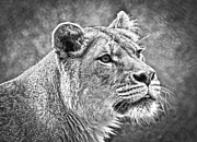 Lion Cub Sleeping Posters - Black and White Lion Poster by Steve McKinzie