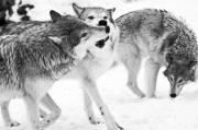 Quadruped Prints - Black and White of three wolves at play Print by Melody and Michael Watson