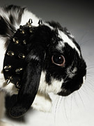 Pet Collar Posters - Black And White Rabbit, With Studded Collar, Close-up Poster by Michael Blann