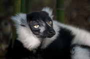 Lemur Posters - Black and White Ruffed Lemur Poster by Chris  Brewington Photography LLC