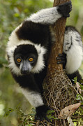 Lemuridae Prints - Black And White Ruffed Lemur Varecia Print by Pete Oxford