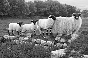 Pictures Photo Originals - Black and White Sheep by John Hastings
