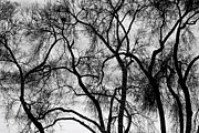 Photography Abstracts Framed Prints - Black and White Silhouetted Trees  Framed Print by James Bo Insogna