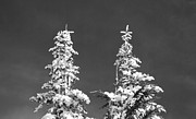 Tree Art Print Framed Prints - Black and White Snow Covered Pines Framed Print by Twenty Two North Photography