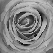 Black And White Spiral Rose Petals Print by James Bo Insogna