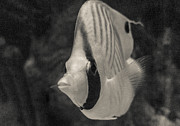 Exotic Fish Prints - Black and White Tropical Fish Print by Darcy Michaelchuk