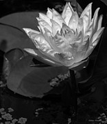 Warm Mixed Media - Black And White Waterlily by Debra     Vatalaro