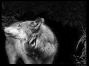 Wolves In Nature Posters - Black And White Wolf Poster by Debra     Vatalaro