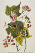 Wild Animal Drawings Prints - Black And Yellow Warbler Print by John James Audubon