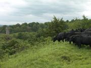 Black Angus Cattle Print by Justin Guariglia