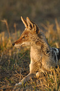 Backed Posters - Black-backed Jackal Canis Mesomelas Poster by Pete Oxford