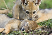 Biting Posters - Black-backed Jackal Pups Playing Poster by Suzi Eszterhas