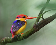 Multi Colored Prints - Black-backed Kingfisher Print by Copyright by David Yeo