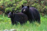 Groups Of Animals Posters - Black Bear And Her Cub In A Grassy Poster by Paul Nicklen