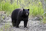 Hibernation Prints - Black Bear at One Mile Lake Pemberton Print by Pierre Leclerc