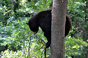 Black Bear Climbing Tree Posters - Black Bear balancing on Limb Poster by Eva Thomas