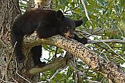 Bear Cub Framed Prints - Black Bear Cub Hanging Out On Tree Branch Framed Print by Max Allen