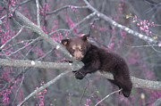 Black Bear Cubs Prints - Black Bear Cub on Branch Print by Alan and Sandy Carey and Photo Researchers