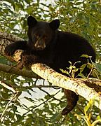 Bear Cub Framed Prints - Black Bear Cub Resting On A Tree Branch Framed Print by Max Allen