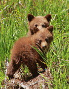 Black Bear Photos - Black Bear Cubs by Bruce J Robinson