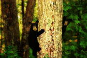 Black Bear Climbing Tree Posters - Black Bear Cubs Poster by Gray  Artus
