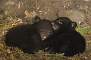 Black Bear Cubs Photos - Black Bear Cubs Playing In Den by Suzi Eszterhas