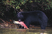Survival Prints - Black Bear Eats A Sockeye Salmon Print by Nick Norman