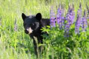 Black Bear Photos - Black bear hiding behind lupines by Pierre Leclerc