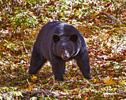 John Stoj - Black Bear in the Wild