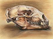 Earth Tone Drawings Prints - Black Bear Skull Print by Darlene Watters