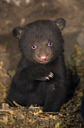 Black Bear Cubs Photos - Black Bear Ursus Americanus 7 Week Old by Suzi Eszterhas