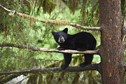 Black Bear Cubs Prints - Black Bear Ursus Americanus Cub In Tree Print by Matthias Breiter