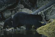 North Vancouver Posters - Black Bear With Her Young Cub Tagging Poster by Joel Sartore