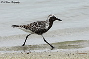 Migrating Birds Originals - Black Bellied Plover by Barbara Bowen