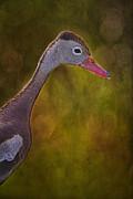 Black Bellied Whistling-duck Print by Anne Rodkin