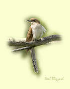 Black-billed Framed Prints - Black-billed Cuckoo Framed Print by Neal Blizzard