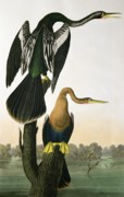 Branch Drawings Posters - Black Billed Darter Poster by John James Audubon