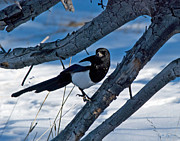 Black-billed Framed Prints - Black Billed Magpie Framed Print by Julie Magers Soulen