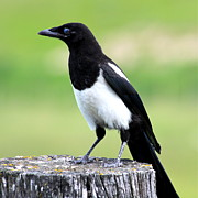 Black-billed Framed Prints - Black-billed Magpie Framed Print by Karon Melillo DeVega