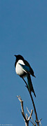 Black-billed Framed Prints - Black-Billed Magpie Framed Print by Mitch Shindelbower