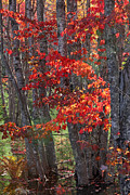 New England Fall Foliage Prints - Black Birch Tree Splendor Print by Juergen Roth