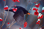 Black Berries Mixed Media Posters - Black Bird in Flight Poster by Jerry L Barrett