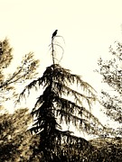 Black And White Pyrography Posters - Black Bird Poster by Suzanne Roach