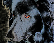 Collie Digital Art Posters - Black Border Collie Poster by Smilin Eyes  Treasures