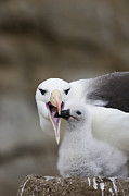 Submissive Metal Prints - Black Browed Albatross Preparing Metal Print by Suzi Eszterhas