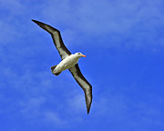 Albatross Prints - Black-browed Albatross Print by Tony Beck