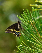 Pine Needles Posters - Black Butterfly Poster by Betty LaRue