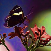 Flower Photographers Posters - Black Butterfly with oil effect Poster by Tom Prendergast