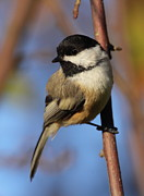 Black-capped Prints - Black-capped Chickadee Print by Bruce J Robinson